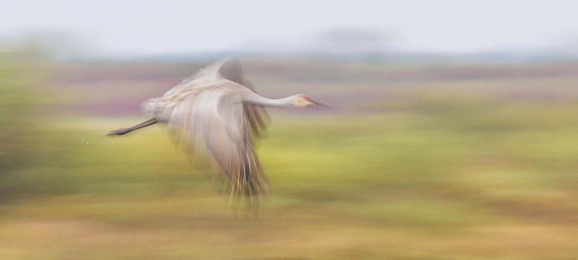 Sandhill Crane motion blur panning flight Crex Meadows Grantsburg WI IMG_0234