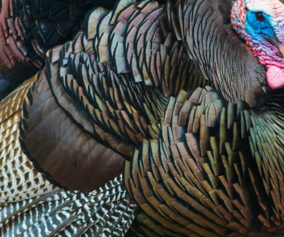 Wild Turkey Skogstjarna Carlton County MN DSC03720