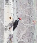 Pileated Woodpecker excavating aspen Glacial Ridge National Wildlife Refuge Polk County MNIMG_0484