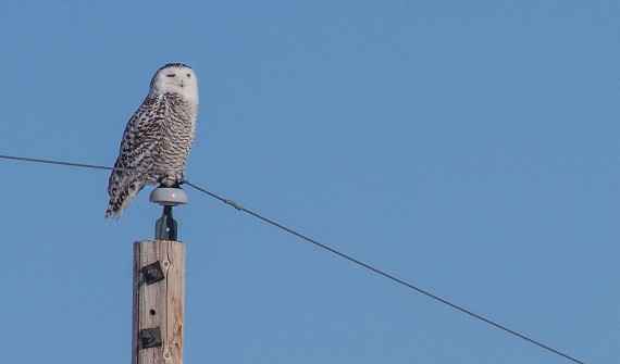 Snowy Owls & other birds—Glacial Ridge NWR March 9-10