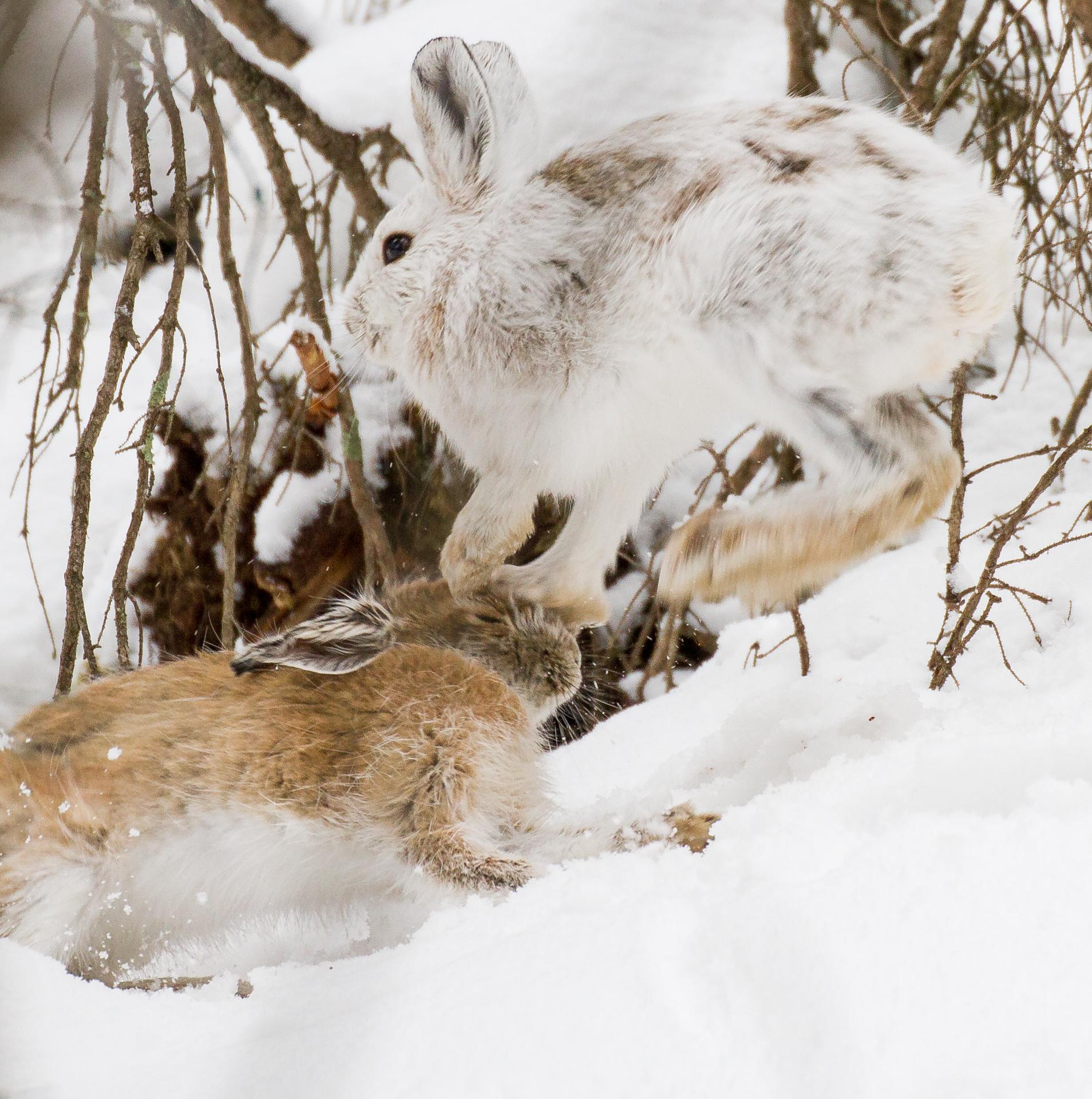 Snowshoe Hare pair leaping Warren Nelson Memorial Bog Sax-Zim Bog MN IMG_0725