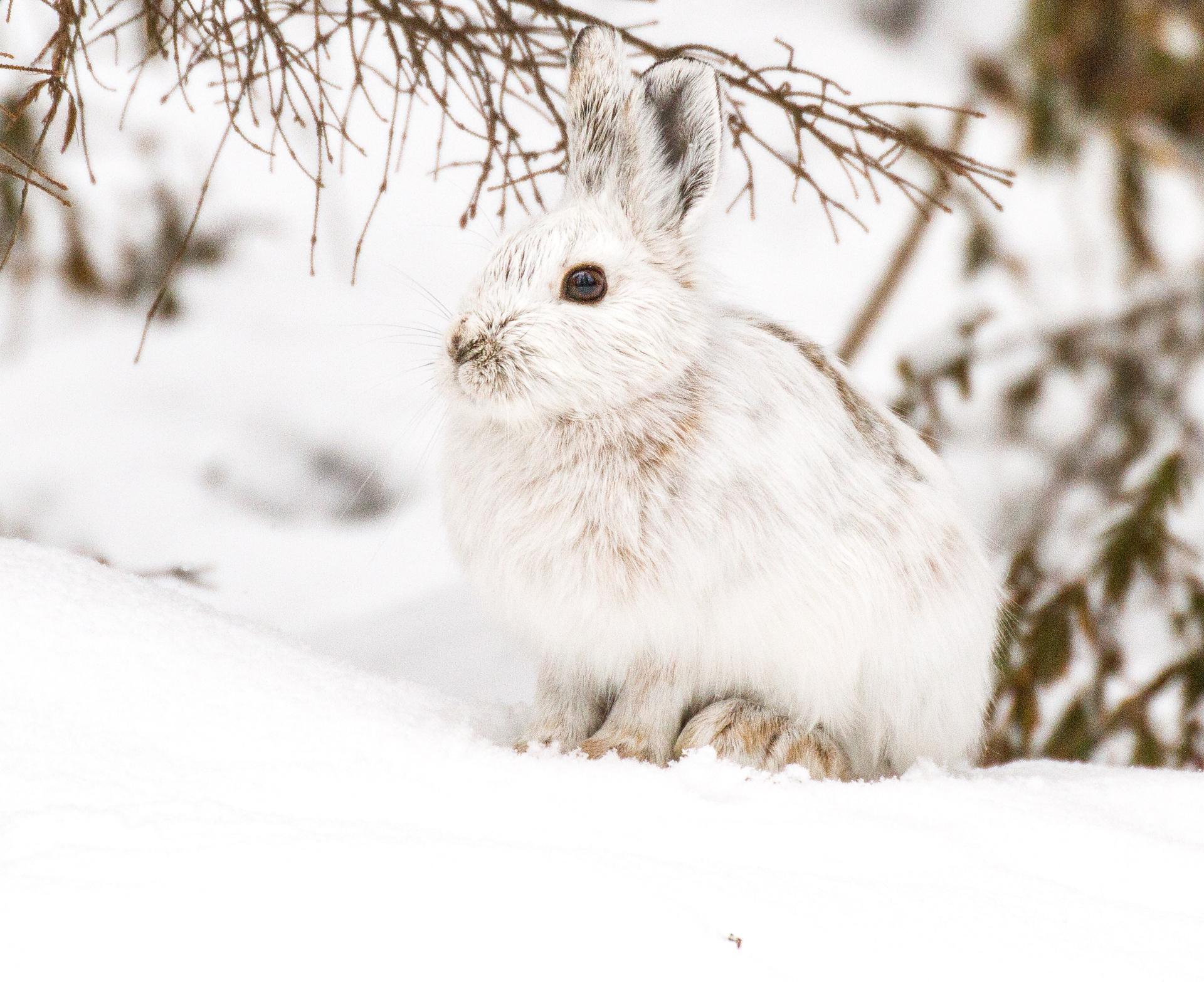 Snowshoe Hare Warren Nelson Memorial Bog Sax-Zim Bog MN IMG_0710-2