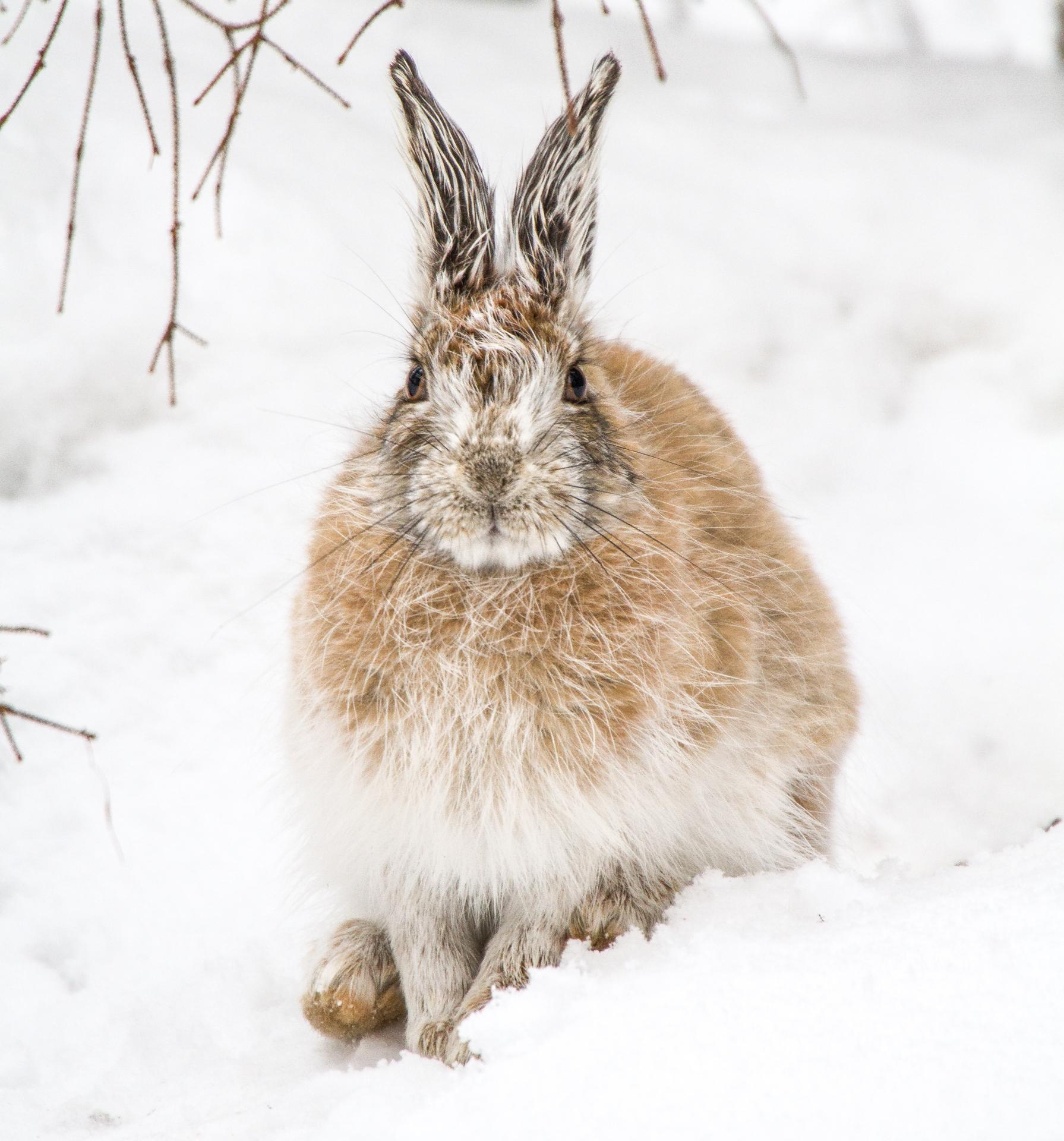 Snowshoe Hare Warren Nelson Memorial Bog Sax-Zim Bog MN IMG_0775