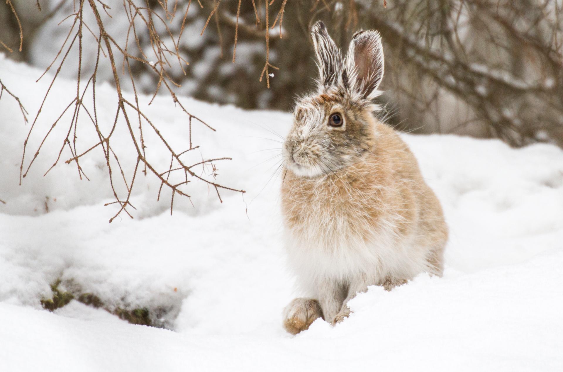 Snowshoe Hare Warren Nelson Memorial Bog Sax-Zim Bog MN IMG_0786