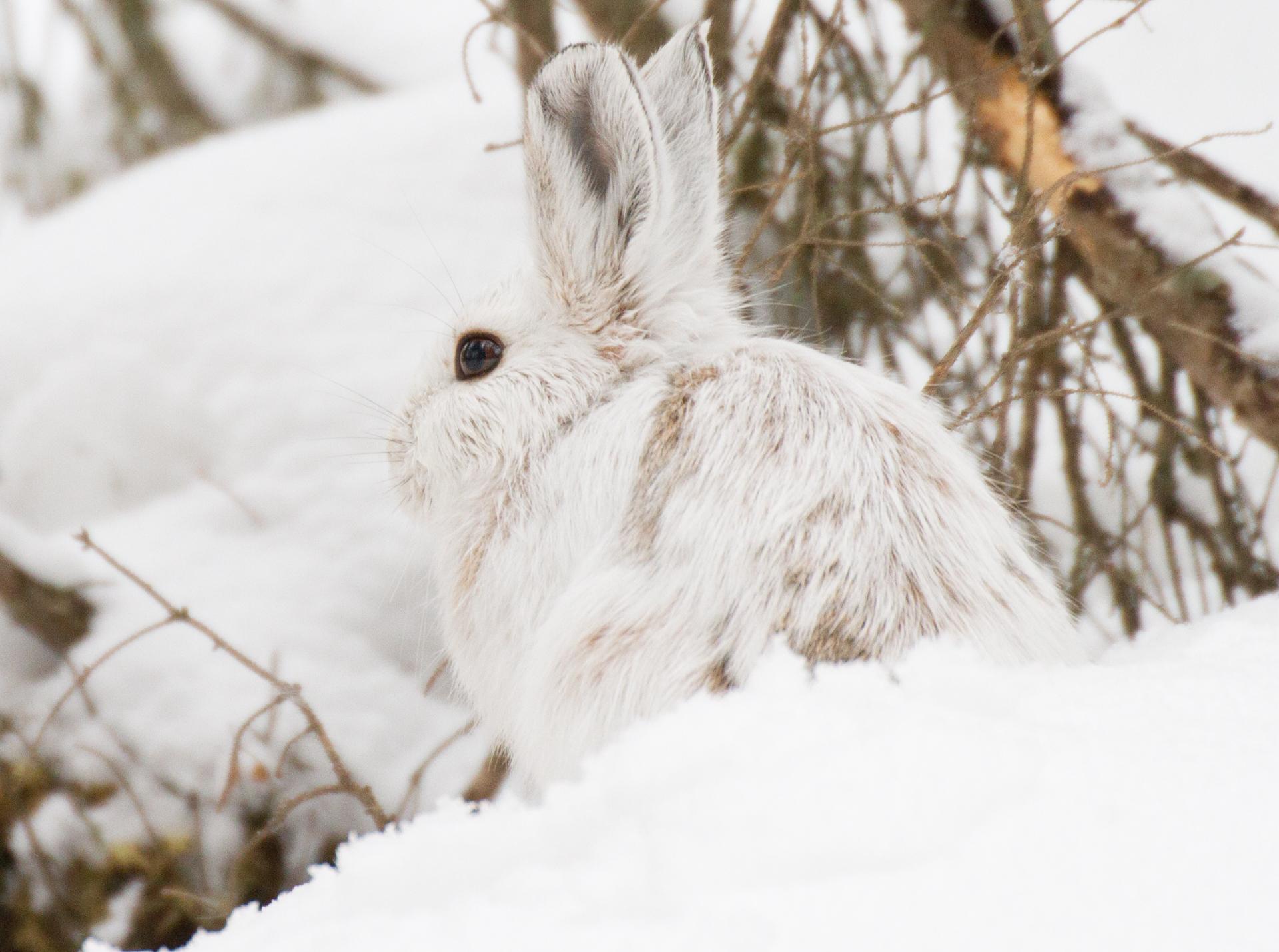 Snowshoe Hare Warren Nelson Memorial Bog Sax-Zim Bog MN IMG_0788