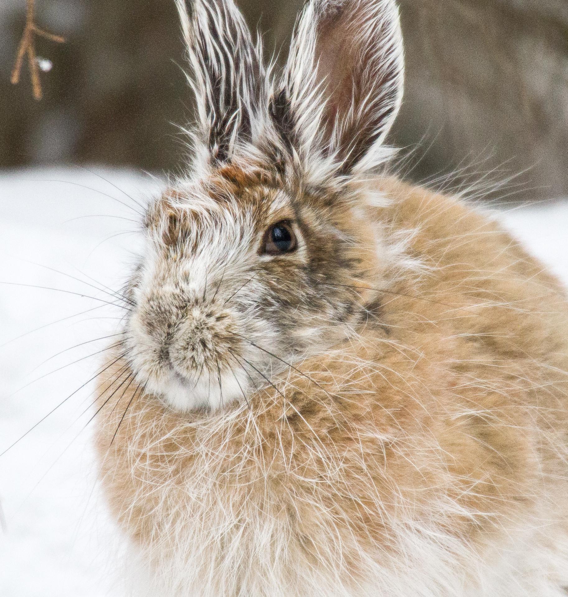 Snowshoe Hare Warren Nelson Memorial Bog Sax-Zim Bog MN IMG_0801