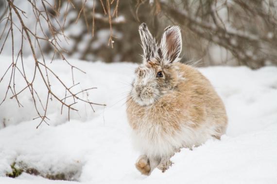 Snowshoe Hare Warren Nelson Memorial Bog Sax-Zim Bog MN IMG_0811