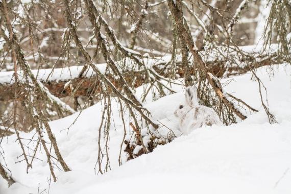 Snowshoe Hare Warren Nelson Memorial Bog Sax-Zim Bog MN IMG_0817
