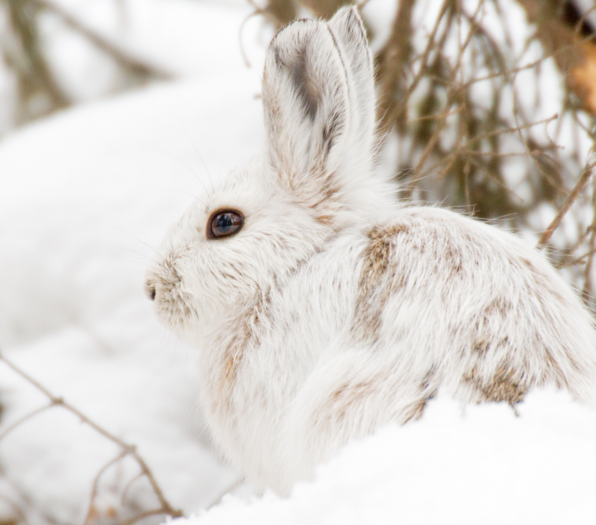 Snowshoe Hare Warren Nelson Memorial Bog Sax-Zim Bog MN IMG_0821