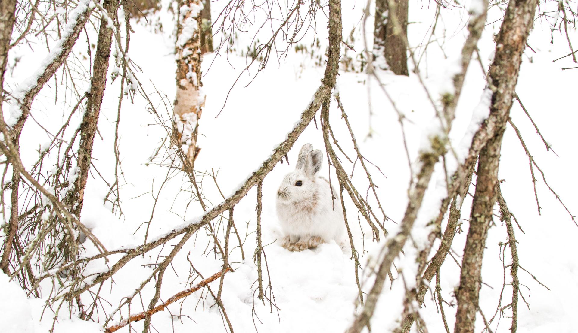 Snowshoe Hare Warren Nelson Memorial Bog Sax-Zim Bog MN IMG_0833