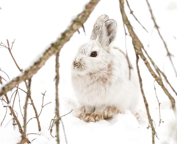 Snowshoe Hare Warren Nelson Memorial Bog Sax-Zim Bog MN IMG_0836