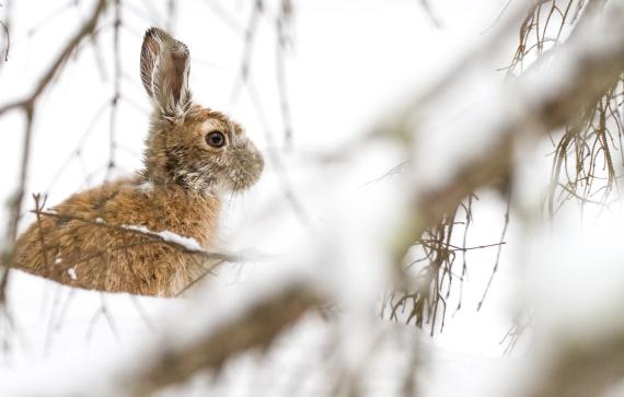 Snowshoe Hare Warren Nelson Memorial Bog Sax-Zim Bog MN IMG_0837