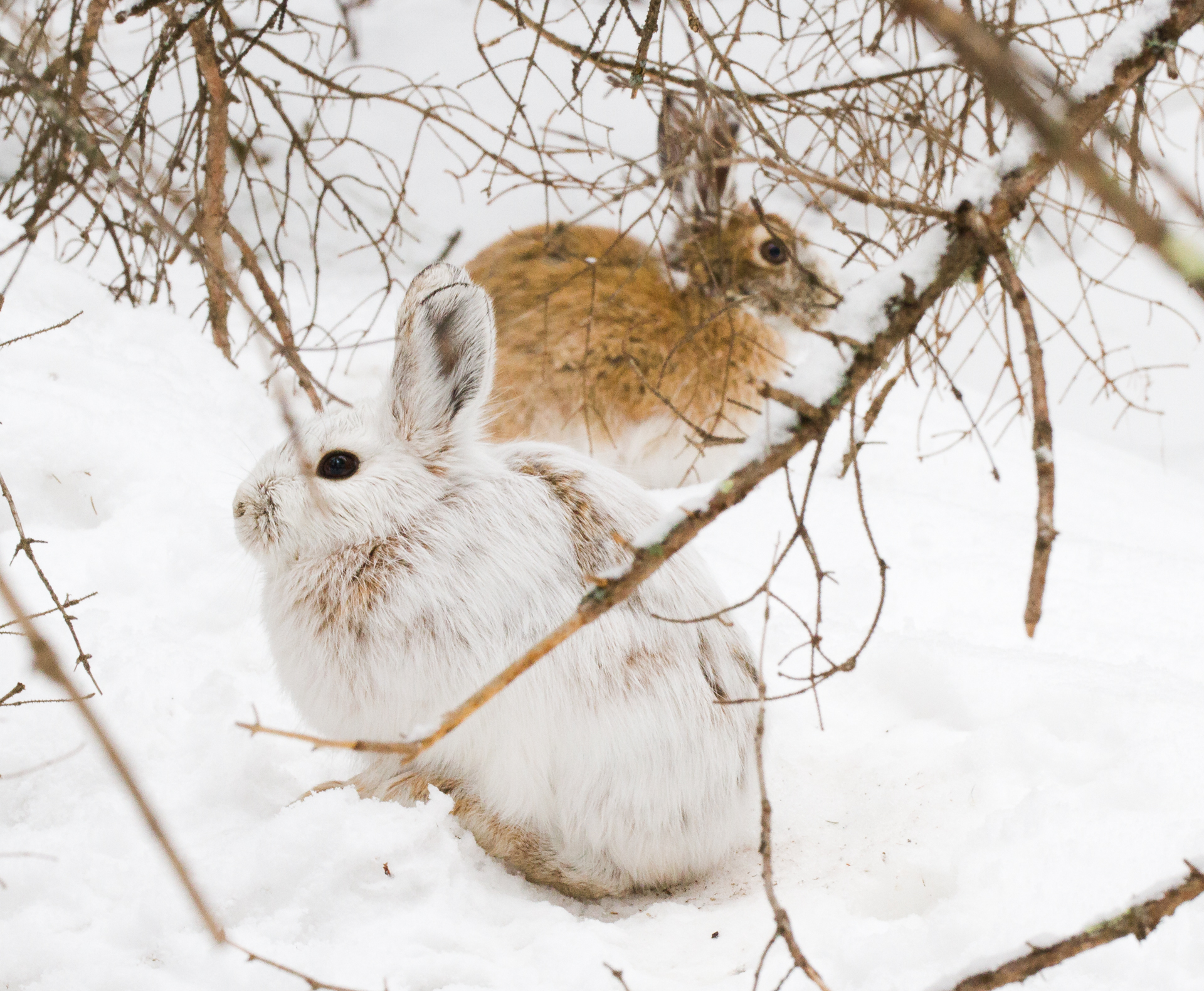 Snowshoe Hare Warren Nelson Memorial Bog Sax-Zim Bog MN IMG_0865