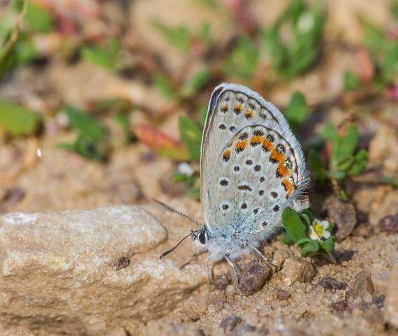 blue Karner Melissa Blue butterfly Lycaeides melissa samuelis Necedah National Wildlife Refuge Necedah WI IMG_2215