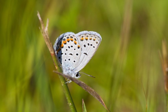 blue Karner Melissa Blue butterfly Lycaeides melissa samuelis Necedah National Wildlife Refuge Necedah WI IMG_2221