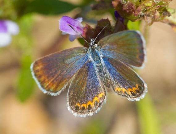 blue Karner Melissa Blue butterfly Lycaeides melissa samuelis Necedah National Wildlife Refuge Necedah WI IMG_2251