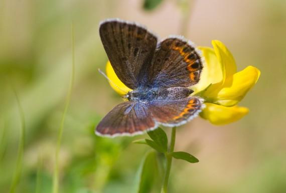 blue Karner Melissa Blue butterfly Lycaeides melissa samuelis Necedah National Wildlife Refuge Necedah WI IMG_2256