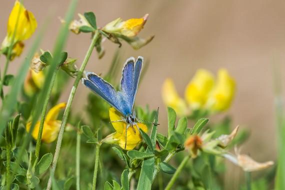 blue Karner Melissa Blue butterfly Lycaeides melissa samuelis Necedah National Wildlife Refuge Necedah WI IMG_2298