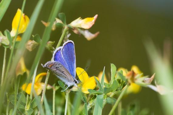blue Karner Melissa Blue butterfly Lycaeides melissa samuelis Necedah National Wildlife Refuge Necedah WI IMG_2301