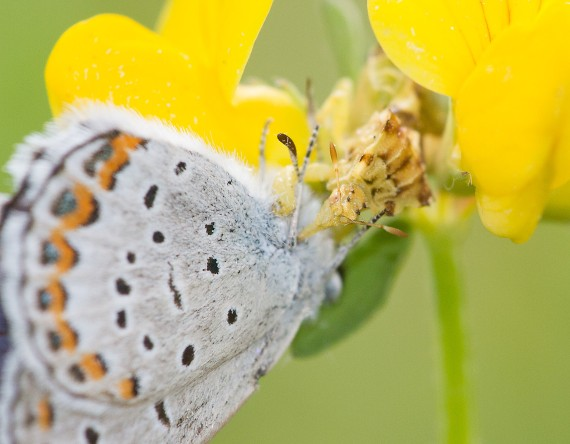 blue Karner Melissa Blue butterfly Lycaeides melissa samuelis Necedah National Wildlife Refuge Necedah WI IMG_2340
