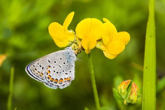 blue Karner Melissa Blue butterfly Lycaeides melissa samuelis Necedah National Wildlife Refuge Necedah WI IMG_2352