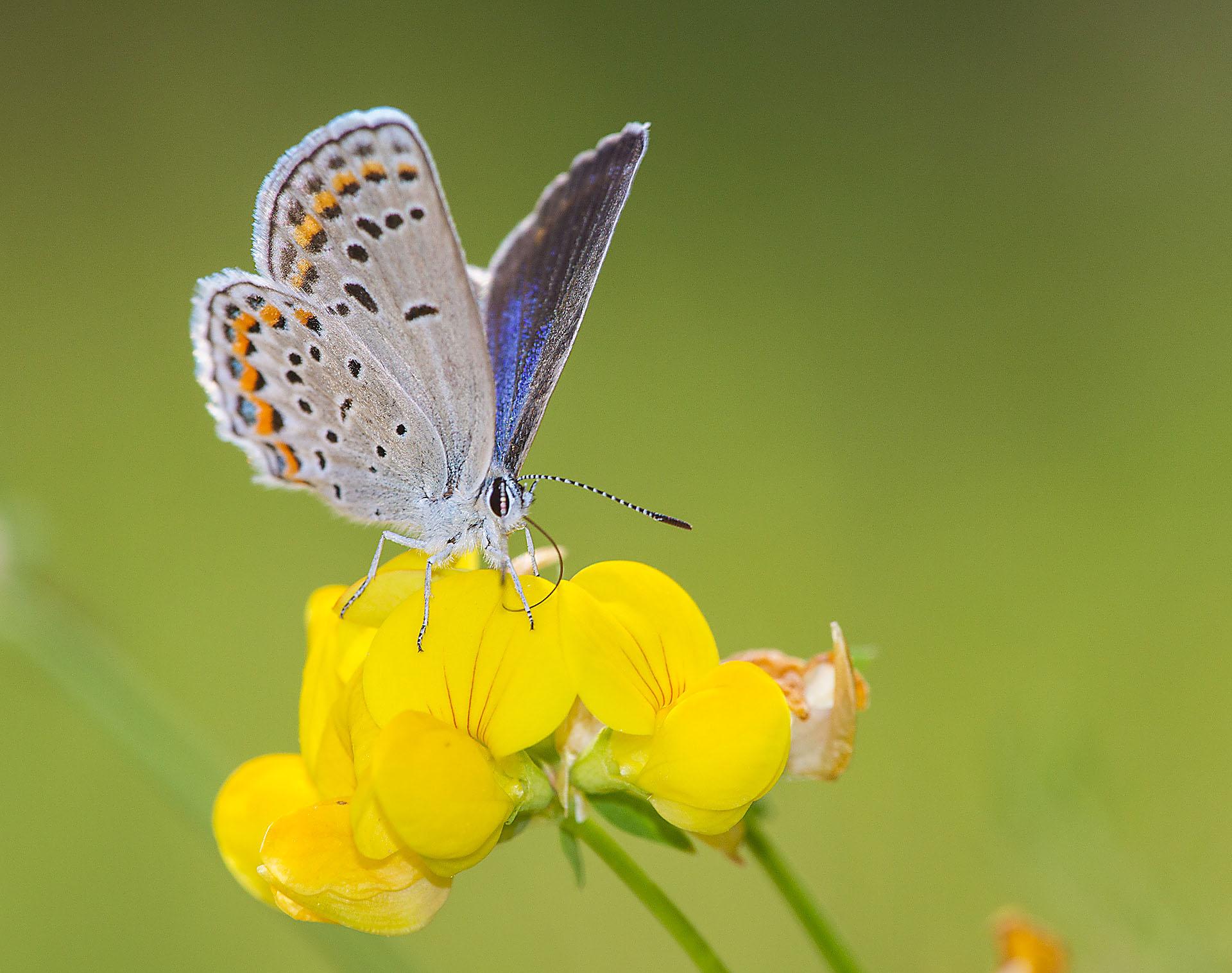 blue Karner Melissa Blue butterfly Lycaeides melissa samuelis Necedah National Wildlife Refuge Necedah WI IMG_2528
