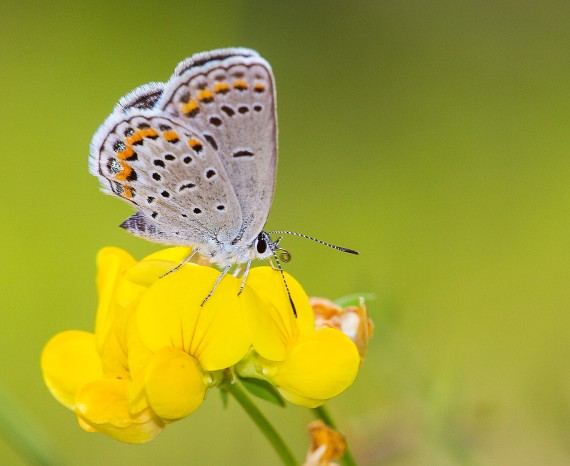 blue Karner Melissa Blue butterfly Lycaeides melissa samuelis Necedah National Wildlife Refuge Necedah WI IMG_2529