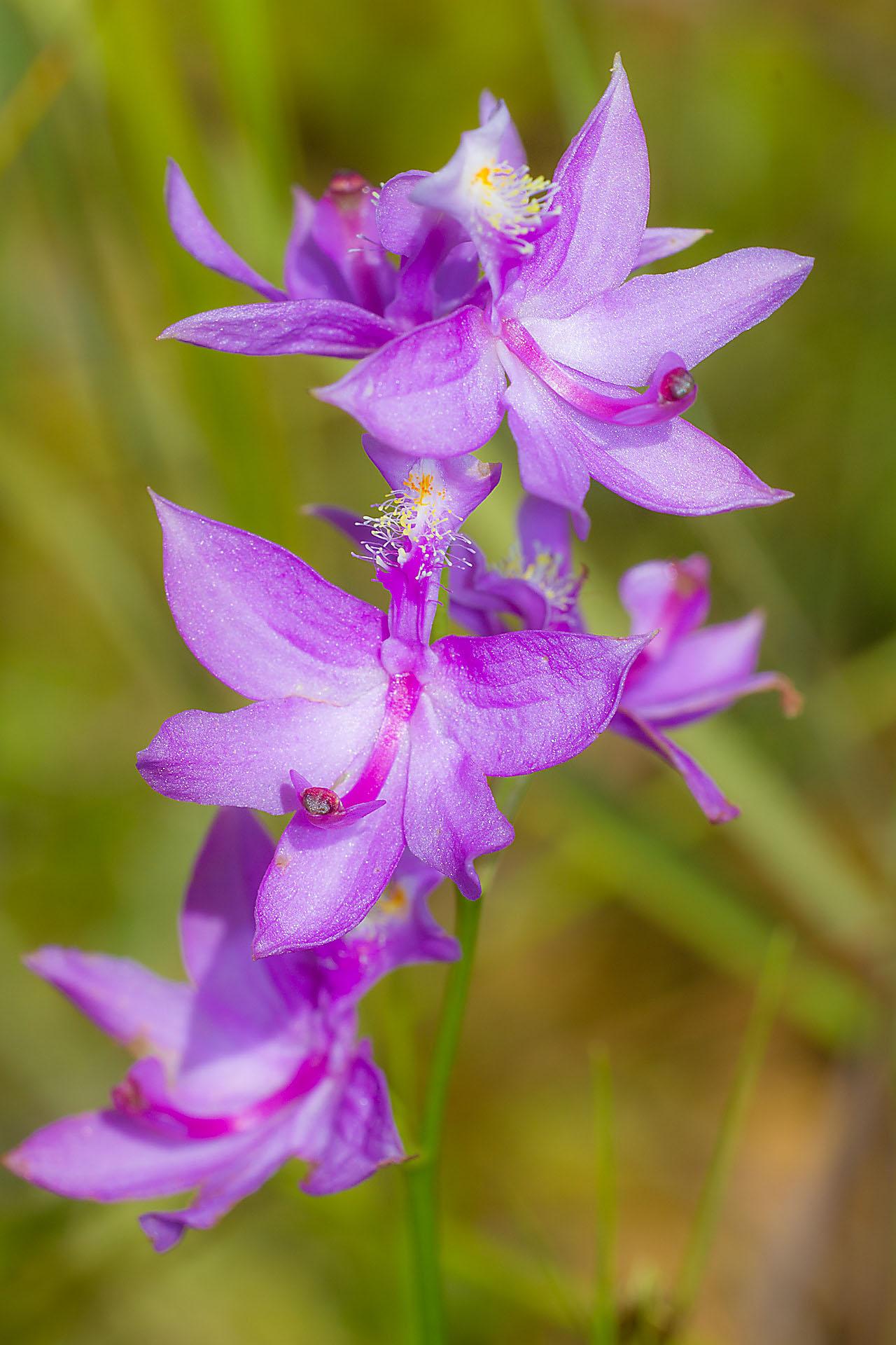 Calopogon tuberosus Swamp Pink orchid fen Necedah National Wildlife Refuge Necedah WI IMG_2387