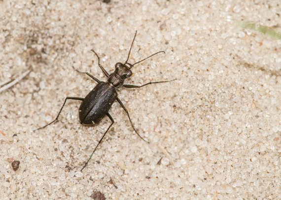 Cicindelidia punctulata subspecies punctulata Punctured Tiger Beetle Necedah National Wildlife Refuge Necedah WI IMG_2582