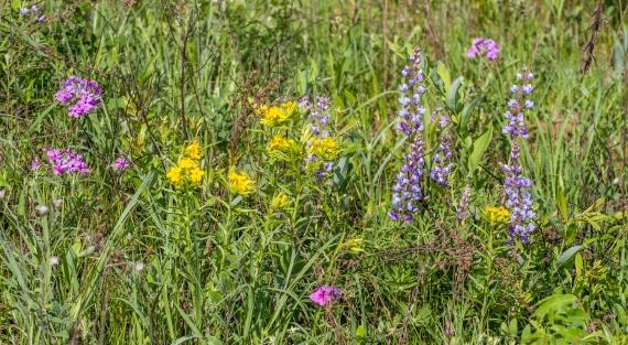 Lupinus perennis Wild Lupine Crex Meadows Grantsburg WI IMG_0371