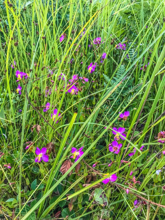 Rhexia virginica Virginia Meadow Beauty Necedah National Wildlife Refuge Necedah WI IMG_7268