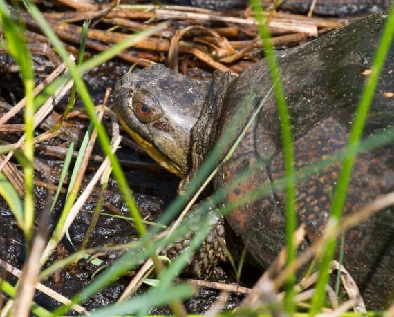 turtle Blanding's Turtle Emydoidea blandingii Necedah National Wildlife Refuge Necedah WI IMG_2403