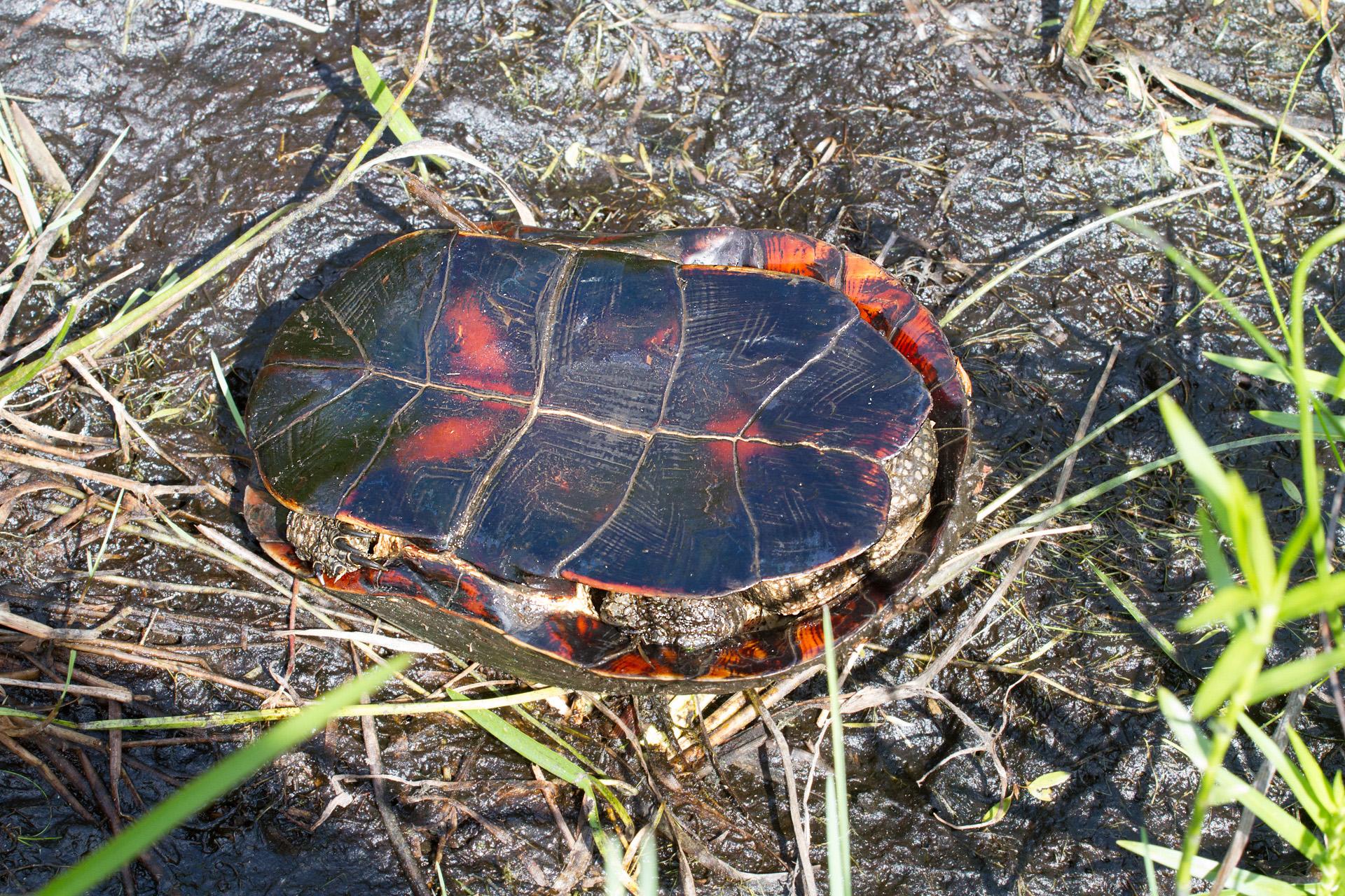 turtle Blanding's Turtle Emydoidea blandingii Necedah National Wildlife Refuge Necedah WI IMG_2406