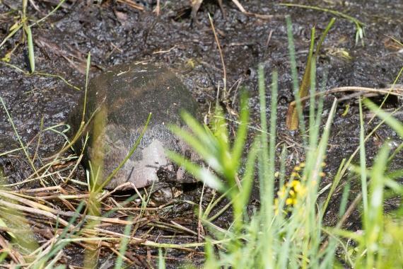 turtle Blanding's Turtle Emydoidea blandingii Necedah National Wildlife Refuge Necedah WI IMG_2421
