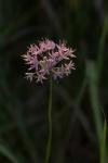 Allium stellatum Wild Onion Felton Prairie Clay County MNIMG_0912