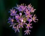 Allium stellatum Wild Onion Felton Prairie Clay County MNIMG_0964