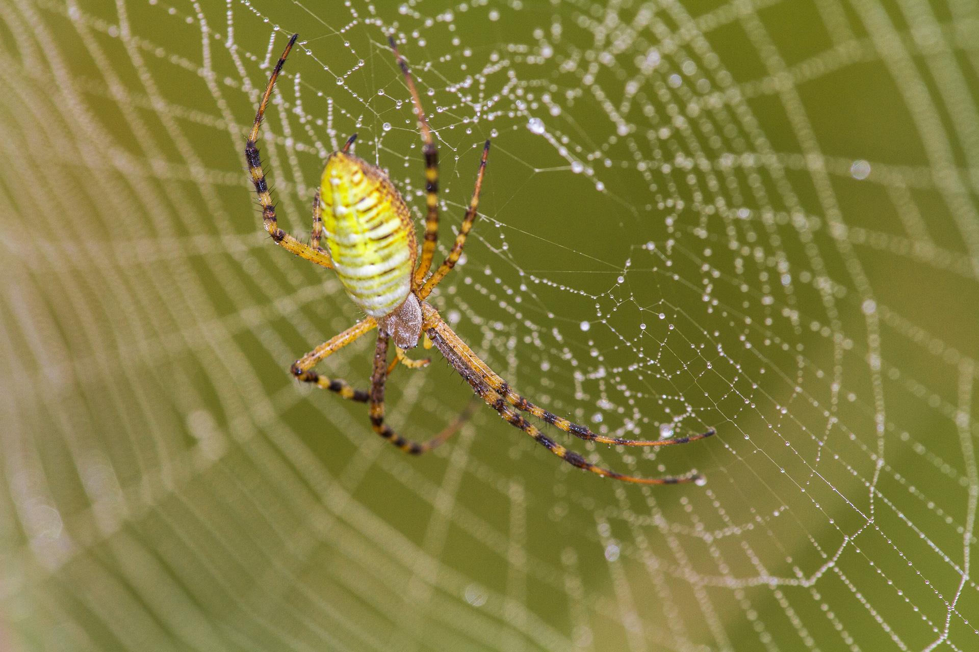 Argiope trifasciata Banded Garden Spider Felton WMA Clay County MN IMG_1232