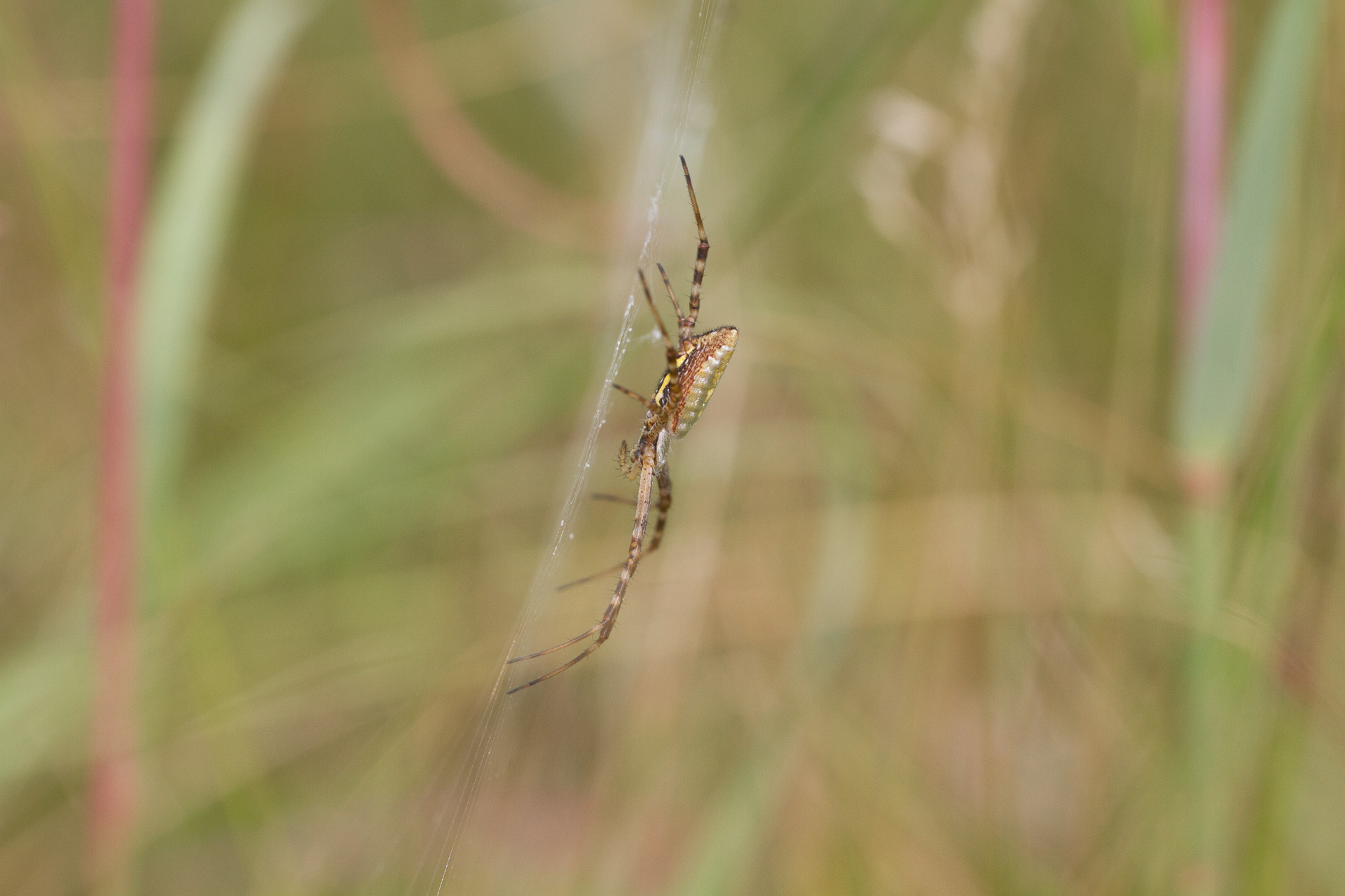 Argiope trifasciata Banded Garden Spider Felton WMA Clay County MN IMG_1687