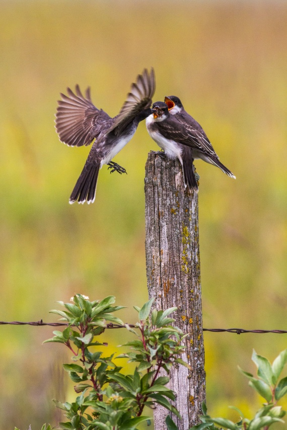 Eastern Kingbird Felton Prairie Clay County MN IMG_1322