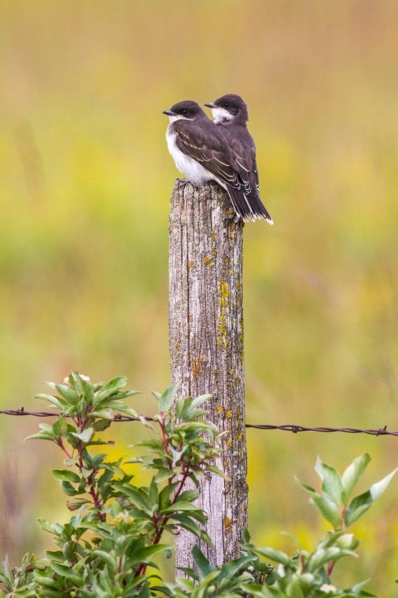 Eastern Kingbird Felton Prairie Clay County MN IMG_1334