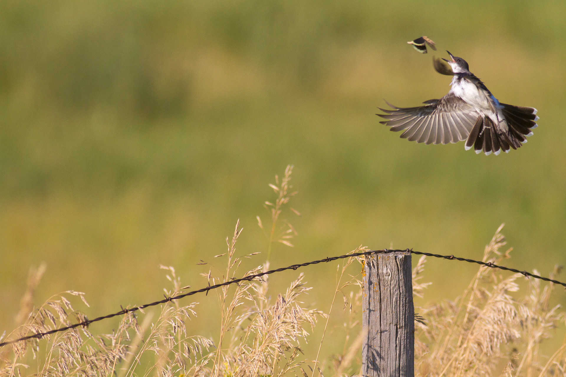 Eastern Kingbird IMG_0793