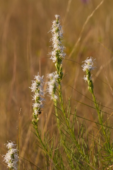 white form of Liatris (Blazing Star) on Felton Prairie (Clay County, Minnesota)