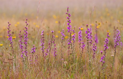 Stand of Liatris (Blazing Star) at Felton Prairie (Clay County, Minnesota)