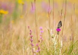fritillary Regal Fritillary Speyeria idalia butterfly Felton WMA Clay County MN IMG_1364