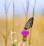 fritillary Regal Fritillary Speyeria idalia butterfly Felton WMA Clay County MNIMG_1367