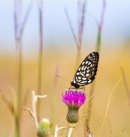 fritillary Regal Fritillary Speyeria idalia butterfly Felton WMA Clay County MN IMG_1367