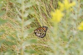fritillary Regal Fritillary Speyeria idalia butterfly Felton WMA Clay County MN IMG_1381