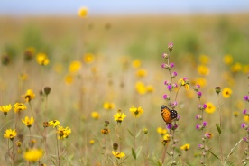 fritillary Regal Fritillary Speyeria idalia butterfly Felton WMA Clay County MN IMG_1462