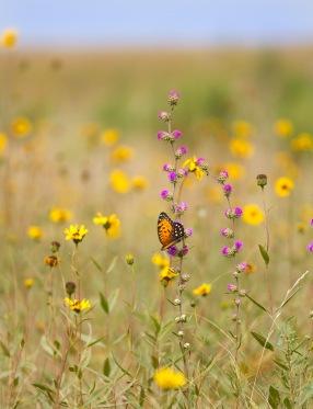 fritillary Regal Fritillary Speyeria idalia butterfly Felton WMA Clay County MN IMG_1469