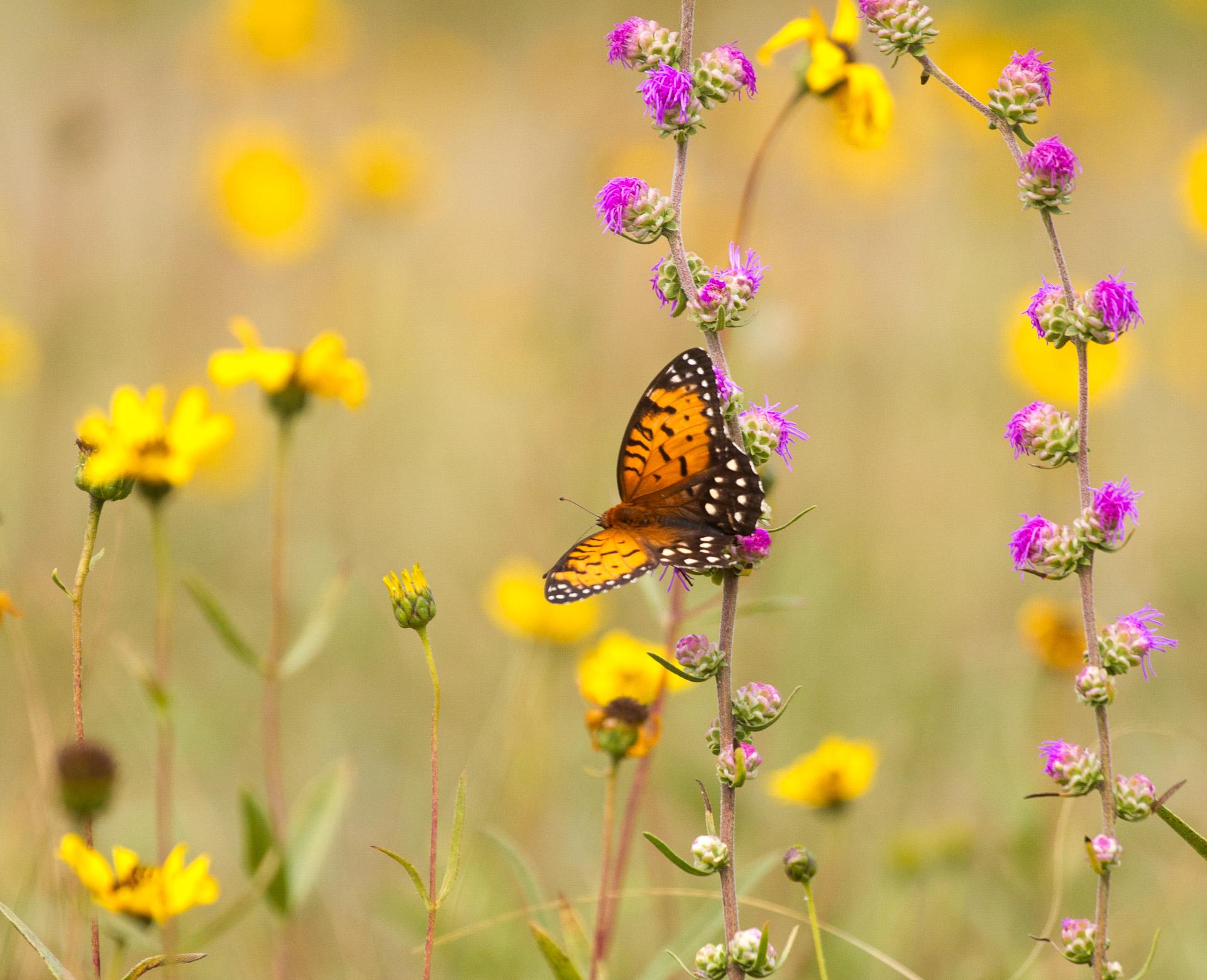 fritillary Regal Fritillary Speyeria idalia butterfly Felton WMA Clay County MN IMG_1474